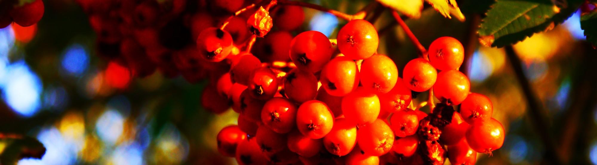 Rönnbär.jpg