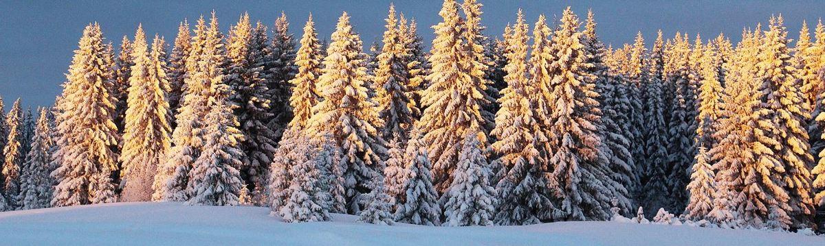 Snöiga granar.JPG